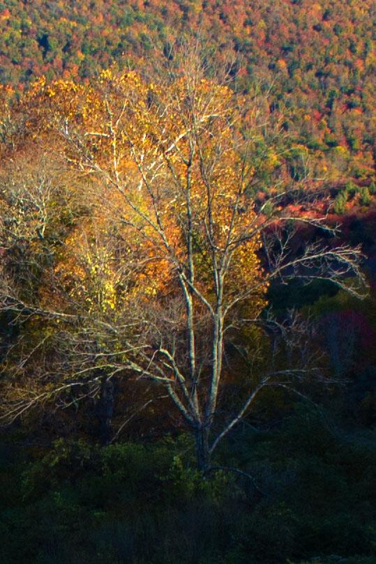 lexington_tree